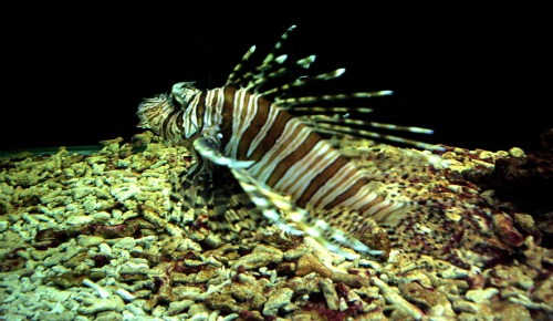 Lionfish invasion; know the facts, not the myth