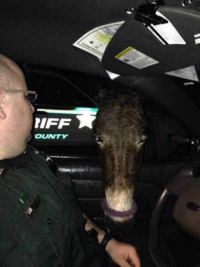 Deputy feeds an ass