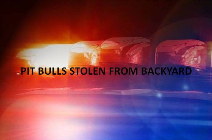 Pit bull bandit strikes again