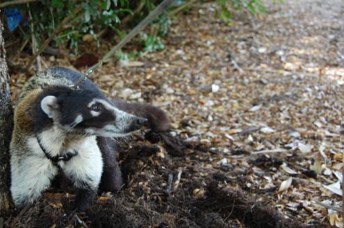 Coati Mundi, FWC, exotic pets, ocala news