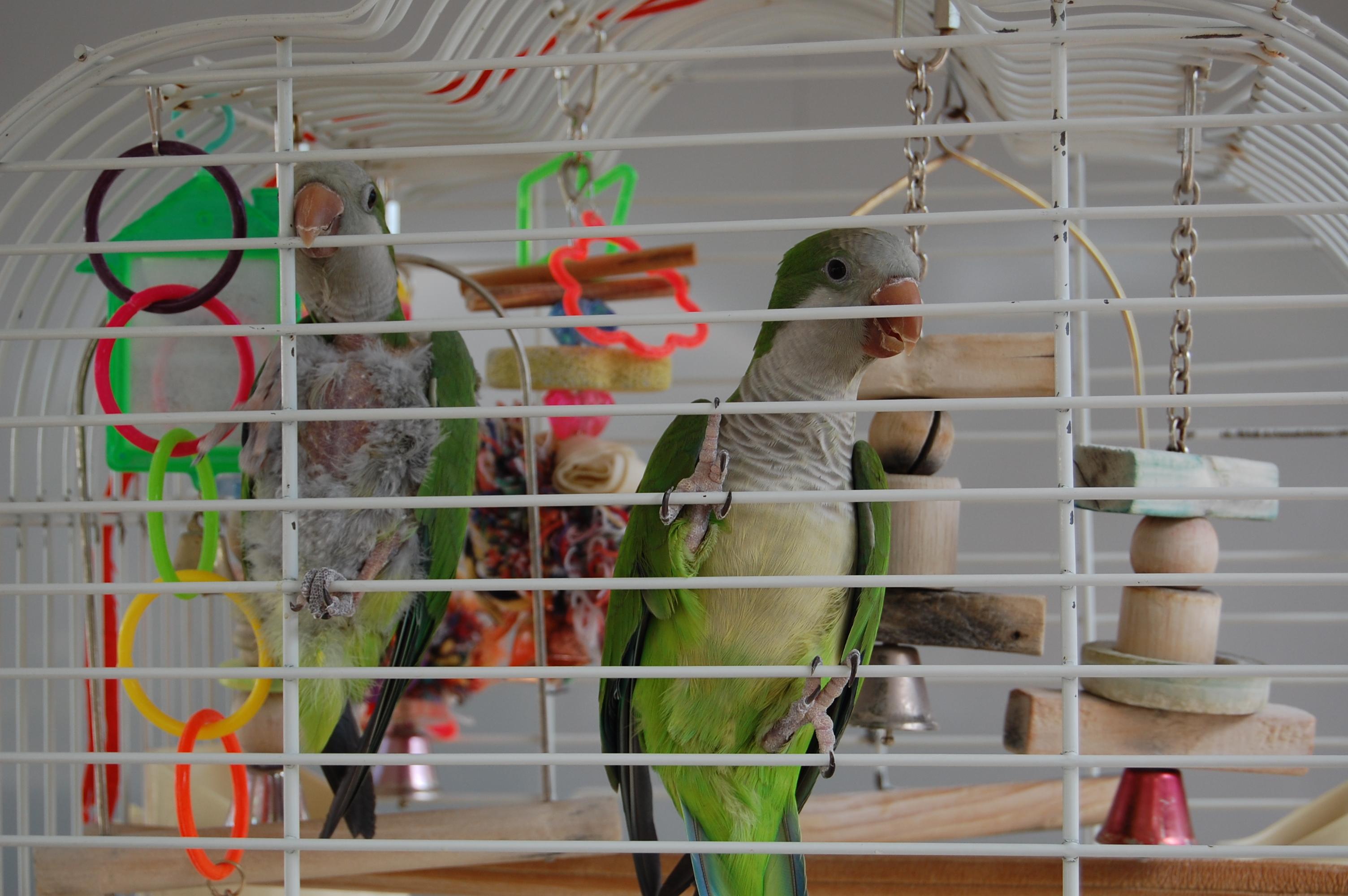 Monk Parakeet, FWC, exotic pets, ocala news