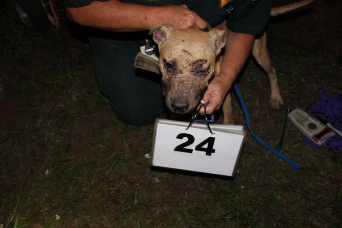 More than 60 pit bulls rescued from two Florida homes