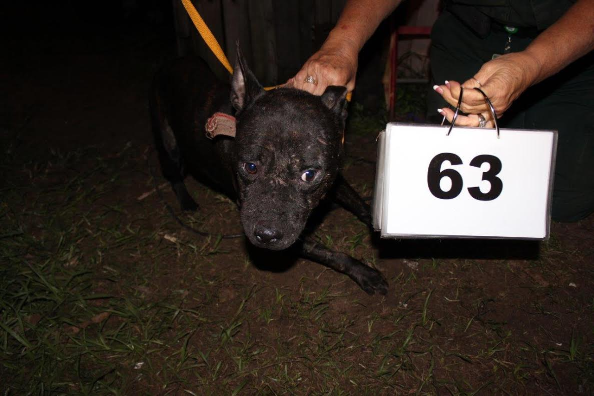 pit bull, polk county, ocala news