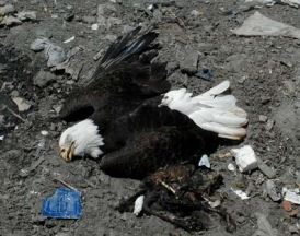 Bald eagles allegedly poisoned by euthanized animals dumped at Marion County Baseline Landfill