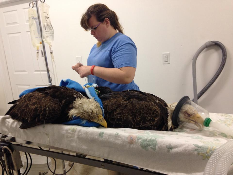 Ocala post bald eagles allegedly poisoned by euthanized for How to euthanize a fish