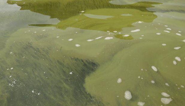 fertilizer, phosphorus, ocala news, lake weir, algae bloom,