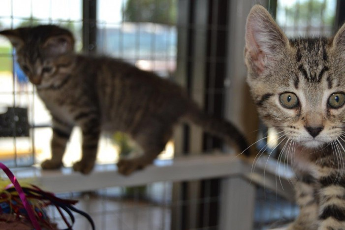 Animal services reduces cat adoption fees