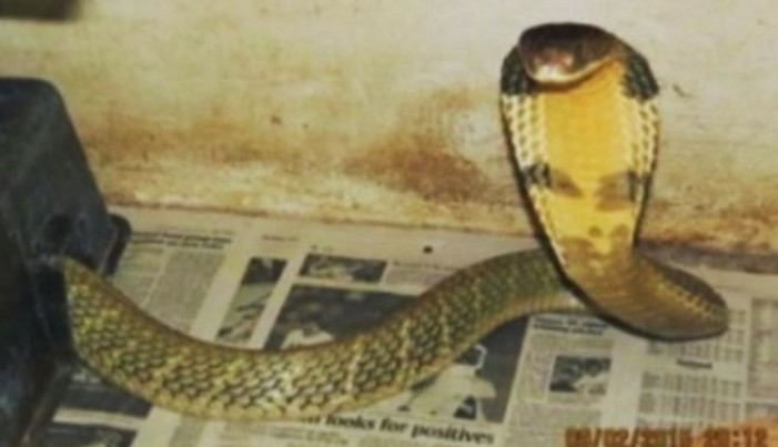 8-foot King cobra on the loose
