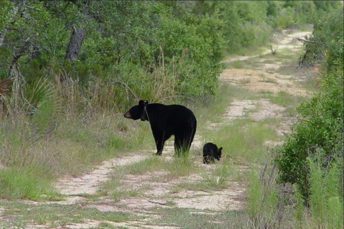 FWC: Bear hunting postponed for 2016