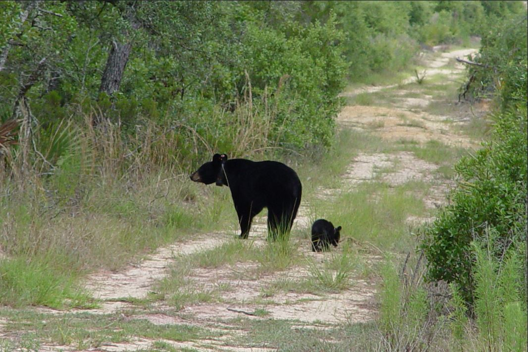 black bear hunting florida, ocala news, florida news, fwc, black bear hunt