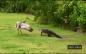 Alligator-VS-Bird: Sandhill crane protects her family from alligator