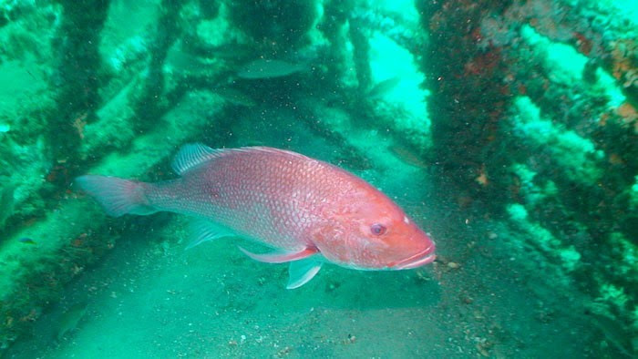 Ocala post 2018 red snapper season for Kmart fishing license