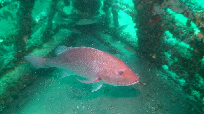 Red snapper season closes soon