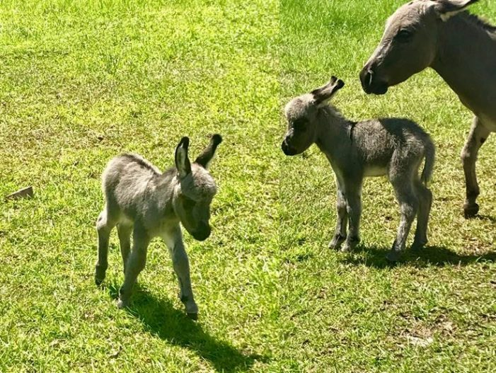 Baby miniature donkey stolen from yard