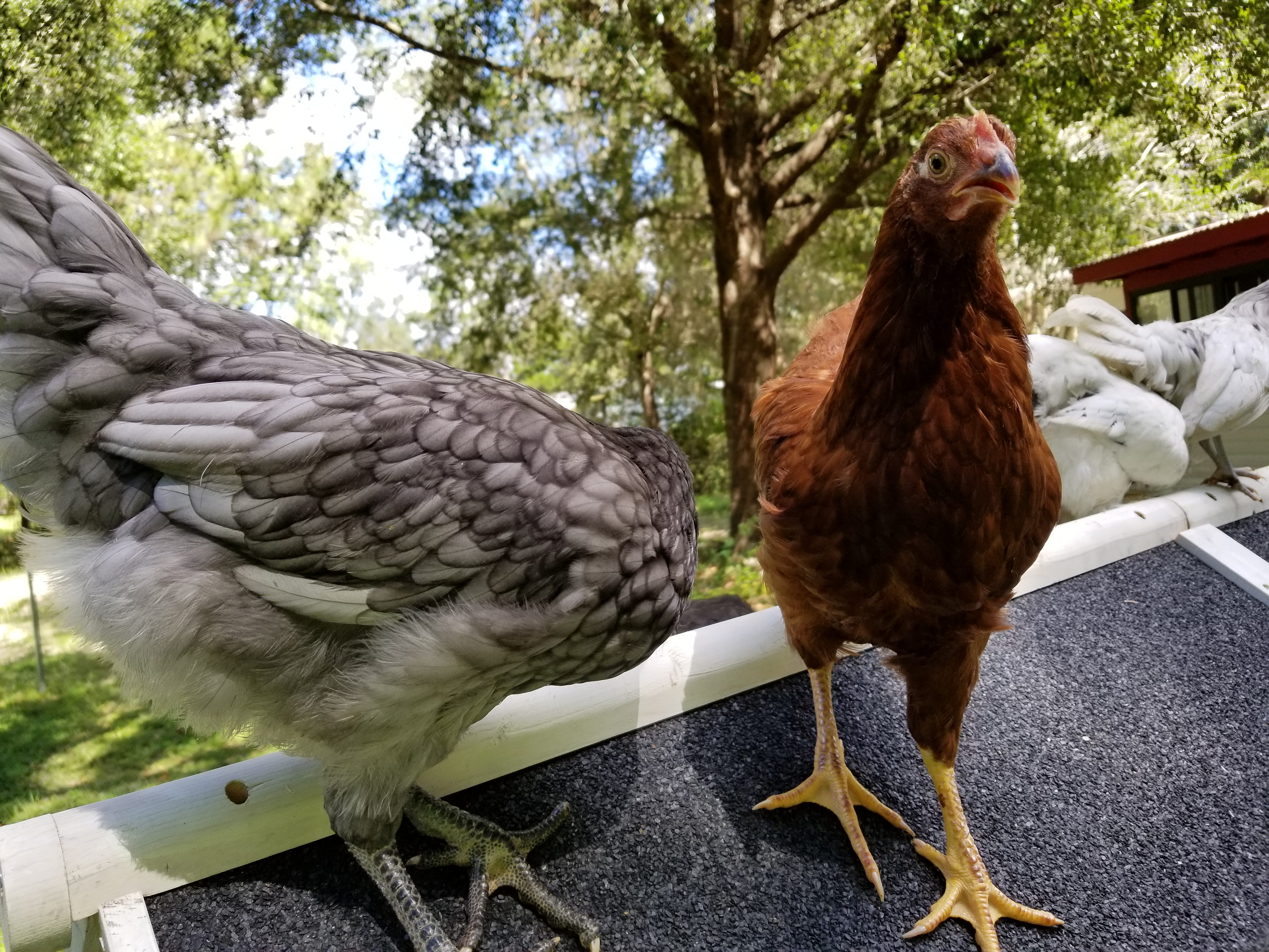chickens, ocala news, ocala post