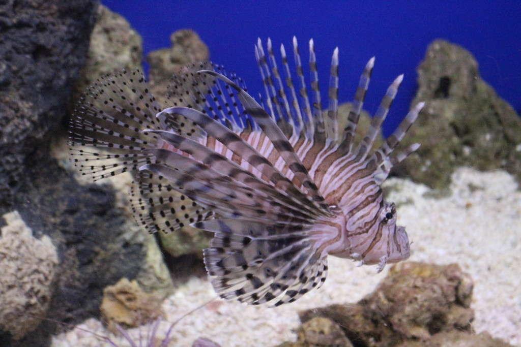 Lionfish challenge winners, facts, myths