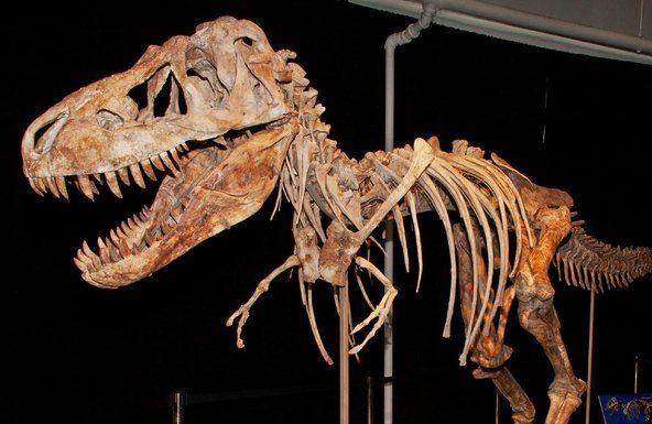 Tyrannosaurus, gainesville, fossil