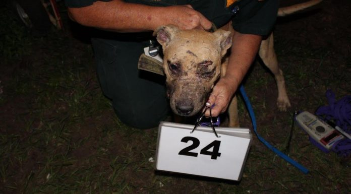 pit bull, ocala news, polk county,