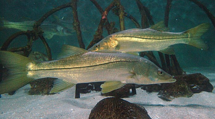 FWC, snook season florida, ocala news