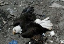 poisoned eagles, ocala news, euthanized, land fill, marion county, bald eagles