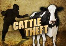 cow theft, angus beef, ocala news