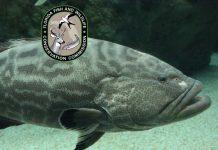ocala news, fishing, gag grouper