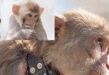 Macaque monkey, gainesville, ocala news, UF