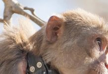 monkey, FWC, university of florida, UF, ocala news,