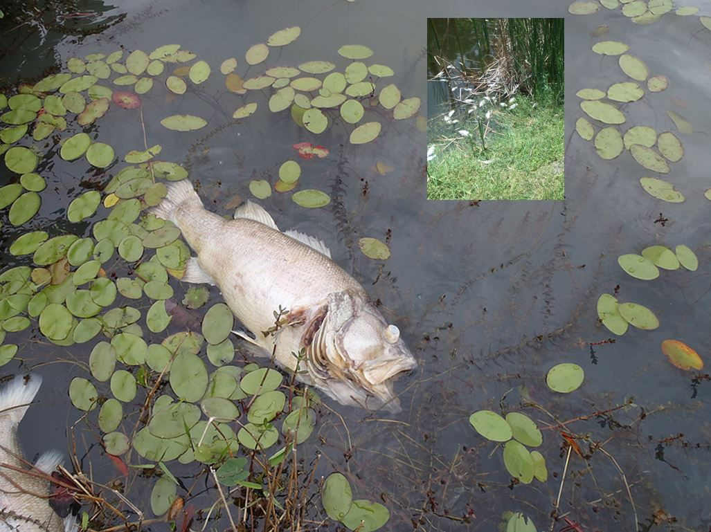 ocala news, fish kill, lake weir, ocala, fishing
