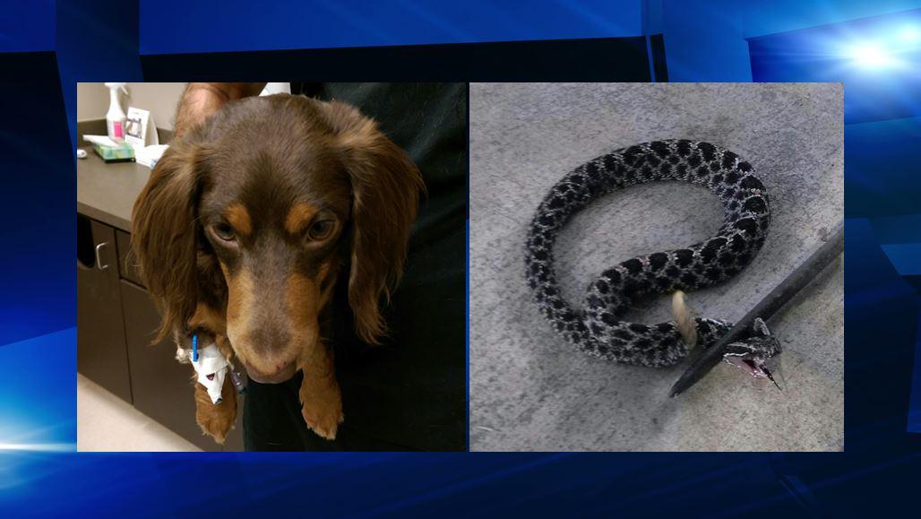 Family dog bit on face by rattlesnake