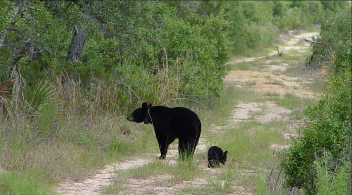 black bear hunting florida, ocala news, florida news, fwc, black bear hunt