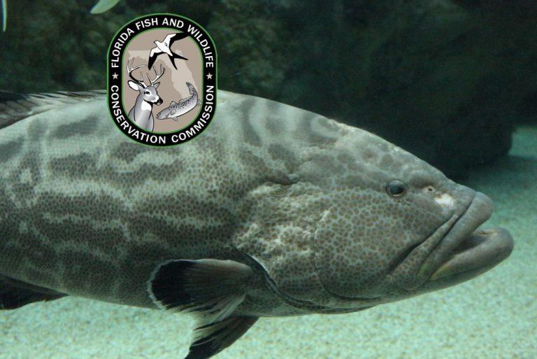 Gag grouper recreational harvest closing in 4-county Gulf region