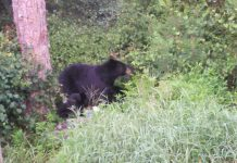 bear, ocala national forest, marion county news, bears, ocala post