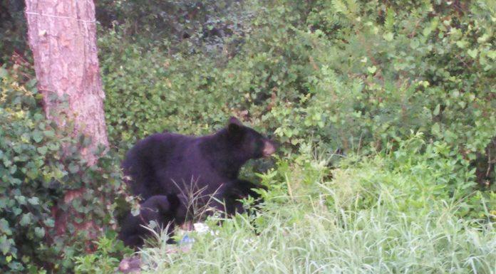 bear, ocala national forest, marion county news, bears, ocala post