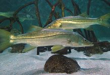 snook season, FWC, fishing, saltwater fishing, ocala news, ocala post, snook