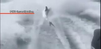 shark dragged behind boat, shark, shrk week, ocala news, ocala post, FWC,