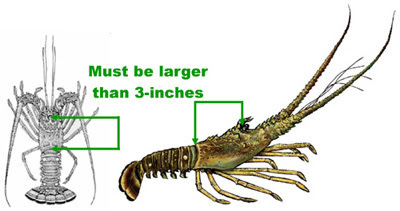 spiny lobster season, ocala news, florida news, FWC