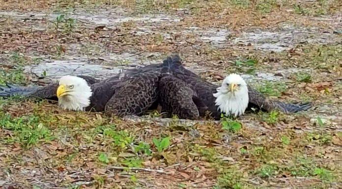 bald eagles mating, bald eagles, ocala news, ocala post
