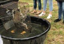 raccoon, forest high school, drown raccoon
