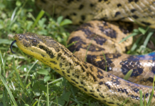 Yellow anaconda, florida news, ocala post, nonnative species,