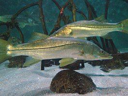 snook season, ocala news, ocala post, fishing
