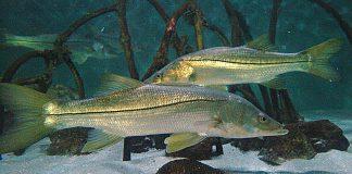 snook season, ocala news, fishing, ocala post