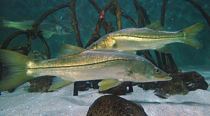 snook season, ocala news, fishing, ocala post