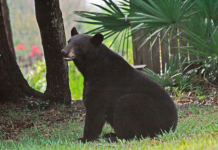 bears, fall season, ocala news, ocala post, ocala national forest