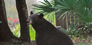 bears, fall season, ocala news, ocala post, ocala national forest