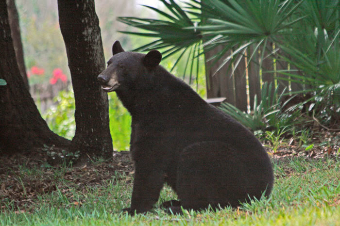 Ocala Post - Bears are more active in the fall