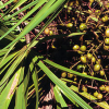 Two arrested for picking saw palmetto berries