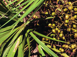 saw palmetto berries, ocala news, ocala post