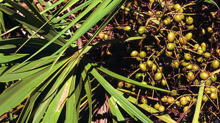 FWC: Picking saw palmetto berries could get you arrested