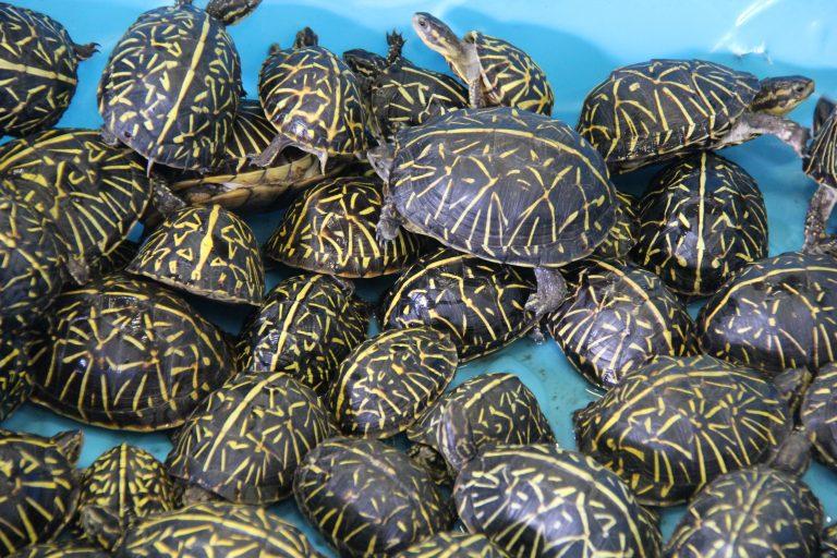 Florida men busted, trafficking ring smuggling thousands of turtles